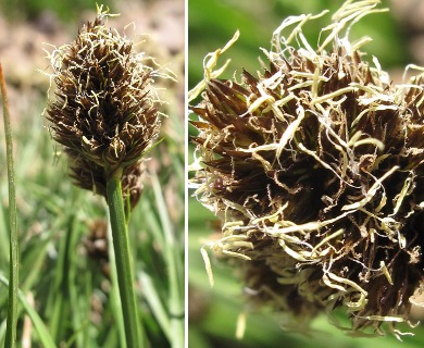 Carex engelmannii