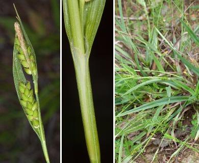 Carex glaucodea
