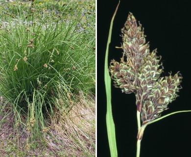 Carex heteroneura