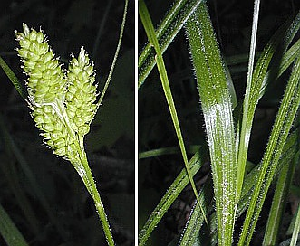 Carex hirsutella