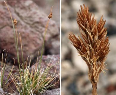 Carex leporinella