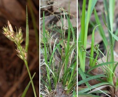 Carex nigromarginata
