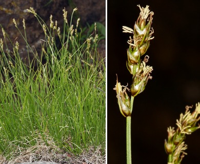 Carex occidentalis