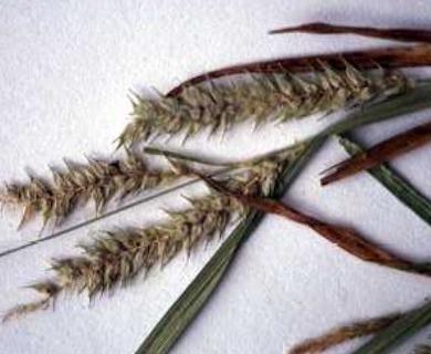 Carex schweinitzii