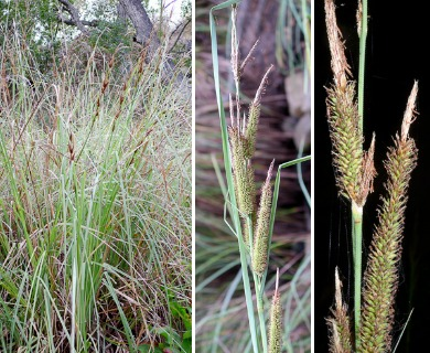 Carex spissa