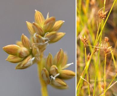 Carex tenuiflora