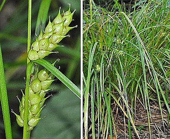 Carex tuckermanii