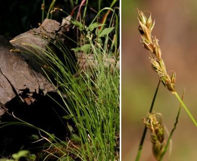 Carex vallicola