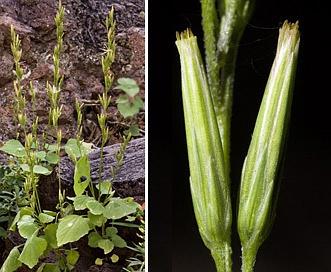 Carminatia tenuiflora