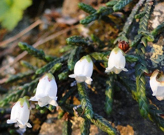 Cassiope lycopodioides