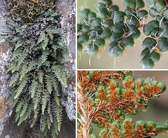 Cheilanthes gracillima