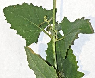 Chenopodium simplex