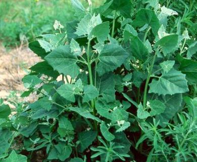 Chenopodium urbicum