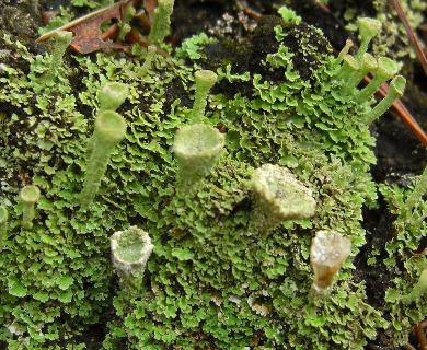 Cladonia cryptochlorophaea