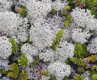 Cladonia stellaris