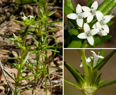 Crusea diversifolia