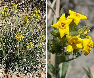 Cryptantha confertiflora