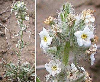 Cryptantha spiculifera