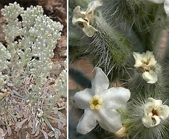 Cryptantha virginensis