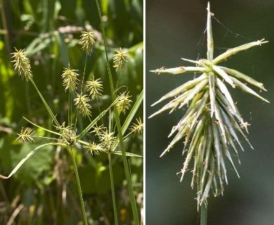 Cyperus retrofractus