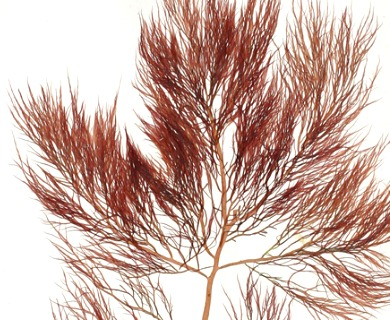 Cystoclonium purpureum