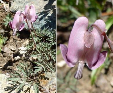 Dicentra pauciflora