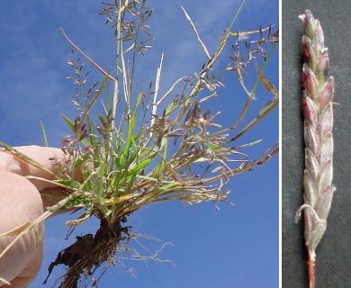 Eragrostis barrelieri