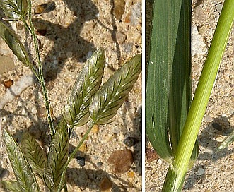 Eragrostis cilianensis