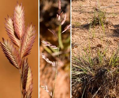 Eragrostis secundiflora