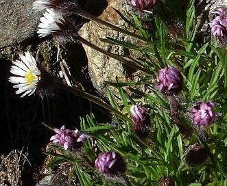 Erigeron purpuratus