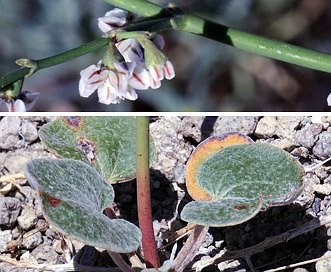 Eriogonum deflexum