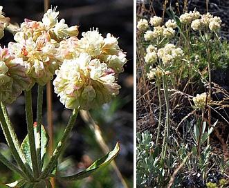 Eriogonum heracleoides