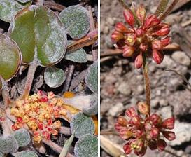 Eriogonum marifolium