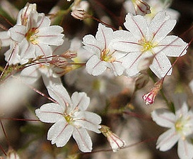 Eriogonum spergulinum