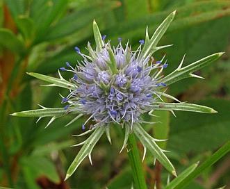 Eryngium integrifolium