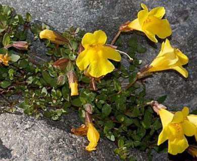 Erythranthe tilingii