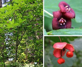 Euonymus occidentalis