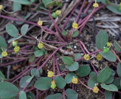 Euphorbia ipecacuanhae