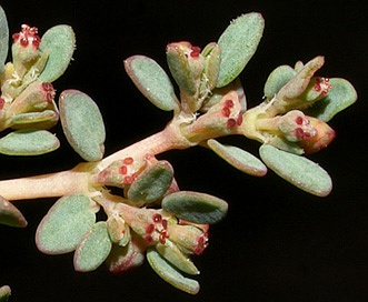 Euphorbia micromera
