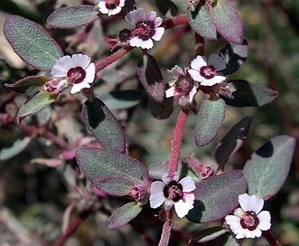 Euphorbia pediculifera