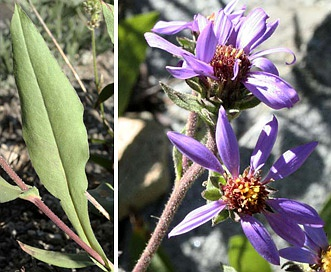 Eurybia integrifolia