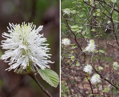 Fothergilla gardenii