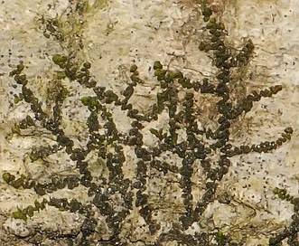 Frullania eboracensis