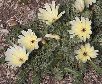 Glyptopleura setulosa