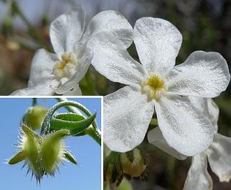 Hackelia diffusa