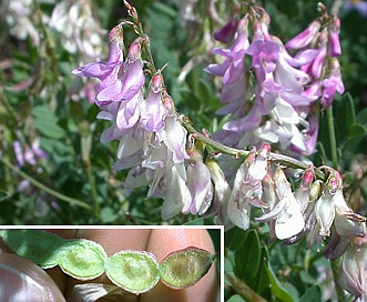 Hedysarum occidentale