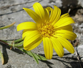 Heterotheca stenophylla