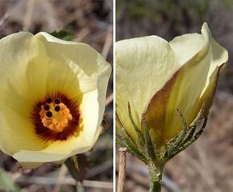 Hibiscus coulteri