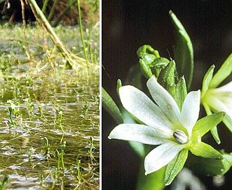 Howellia aquatilis