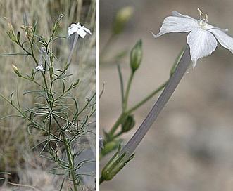 Ipomopsis longiflora